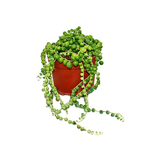 String of Pearls - Senecio herreanus in 9cm Pot
