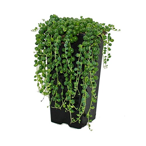 String of Pearls - Senecio rowleyanus Pot size 14cm