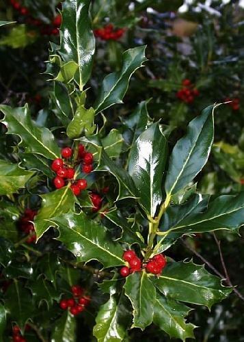 TROPICA - Acebo (Ilex aquifolium) - 30 semillas- Plantas mágicas